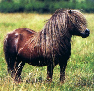 Pic association thread-shetland_pony.jpg