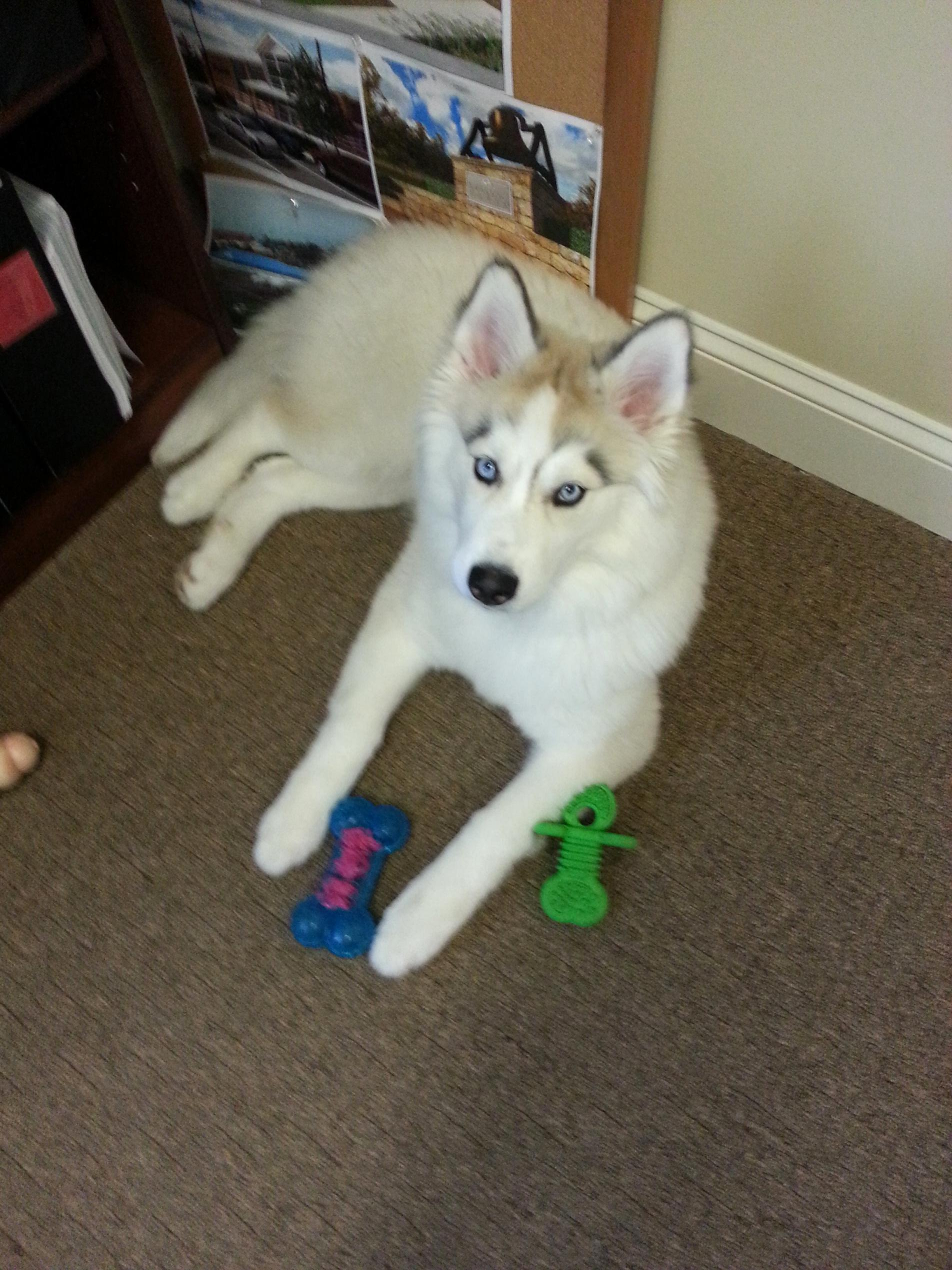 What kind of dog do you own? Are they a good watch/guard dog?-siberian-husky-4-month.jpg