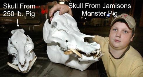 'Monster Pig' Not a Hoax, Not Feral Either-skull.jpg