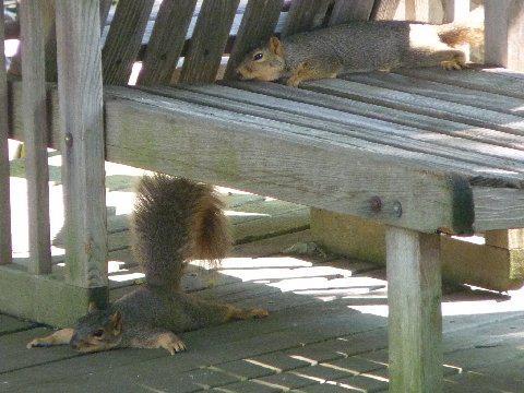 Anyone else feeling the heat?-squirrels.jpg