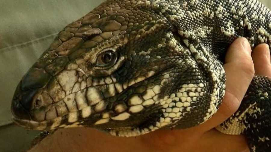 Just when you thought you were safe from the Murder Hornets...-tegu-1589368658.jpg