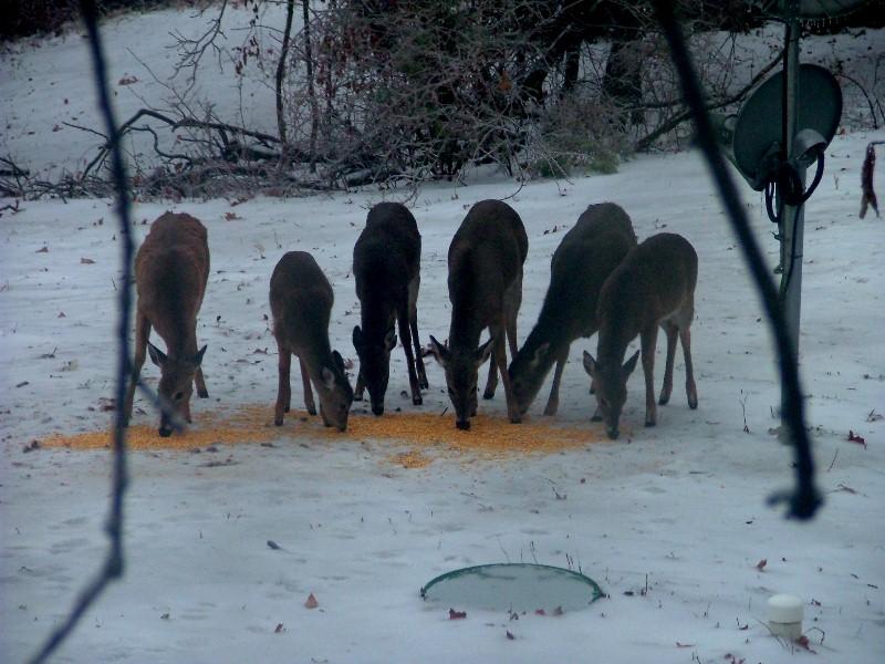 Walked outside deer standing 15 feet from me-livestock.jpg