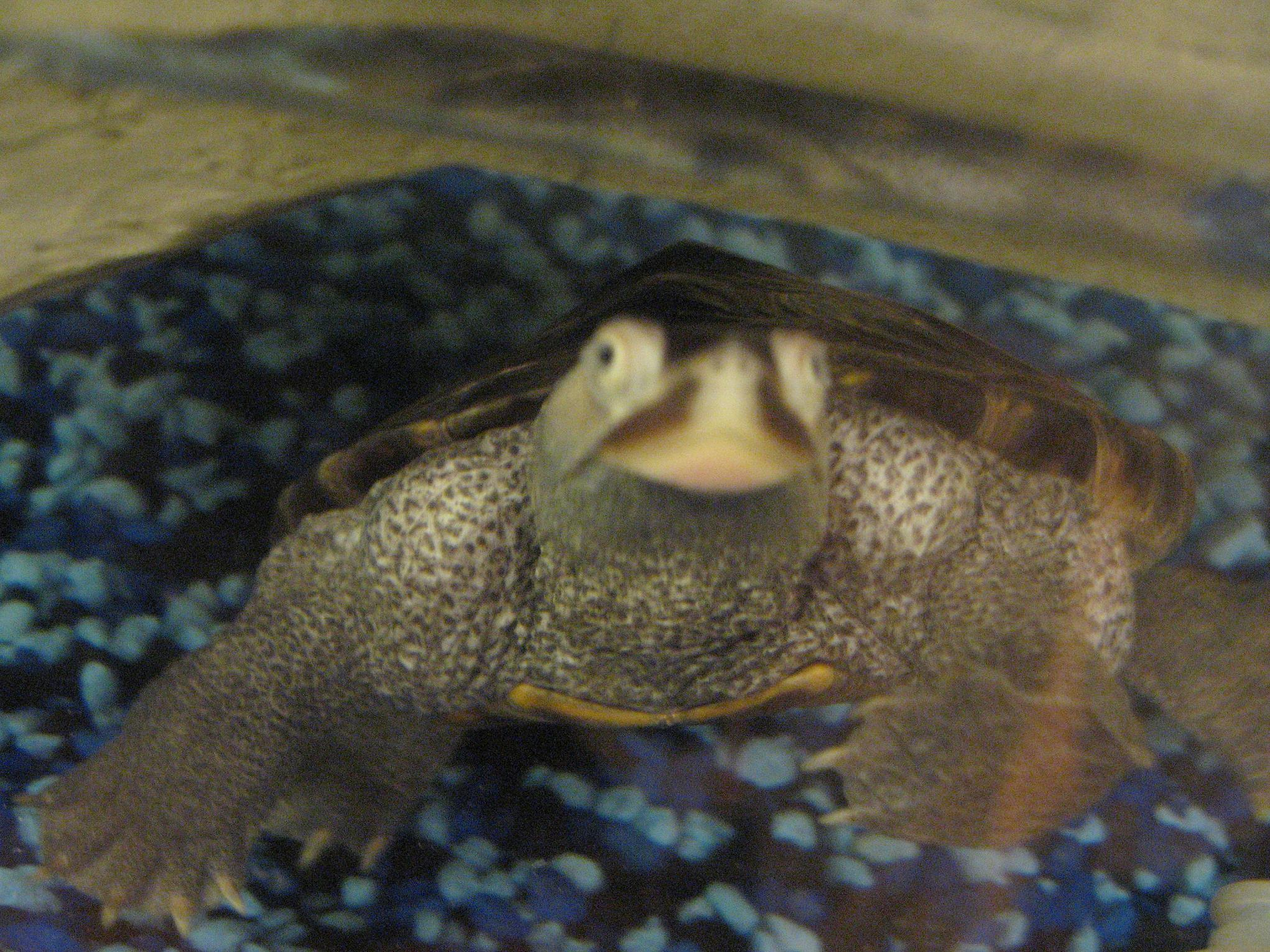 Let's see pics of the Turtle that guards your front door...-turtle-001.jpg