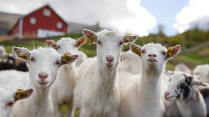 Word association thread-what-baby-goat-called_19502a26-85a6-42d4-834c-64e7bc2de286.jpg