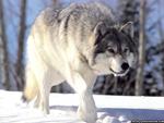 Hunter Shoots and Kills Dog - Your Opinion-wolf.jpg